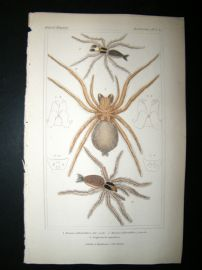 Cuvier C1835 Antique Hand Col Print. Spiders #6